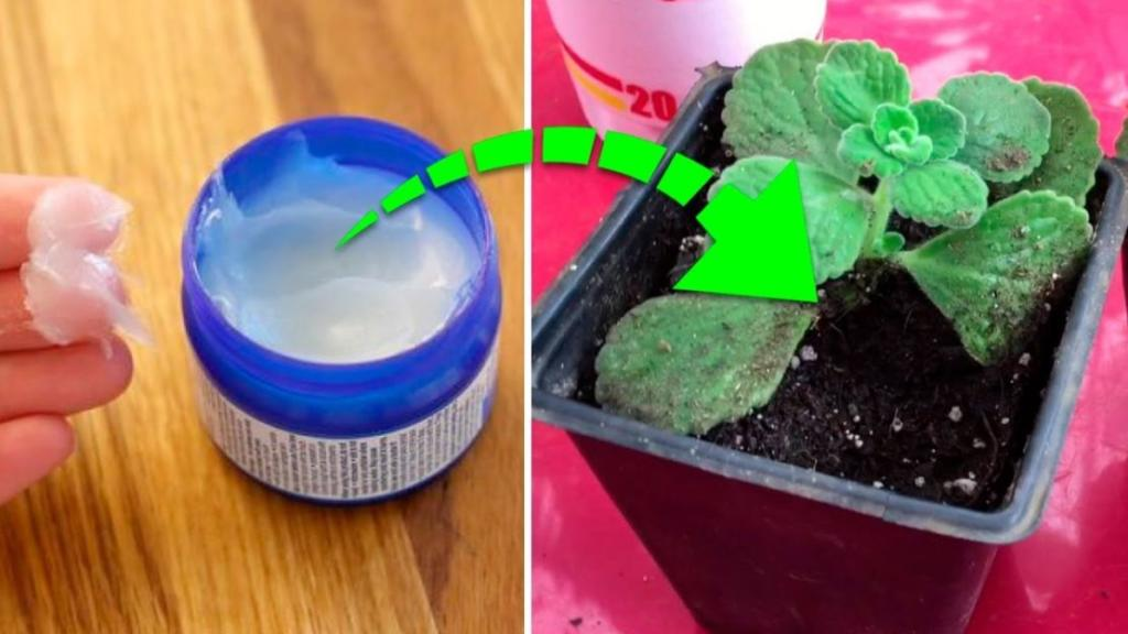 Do You Know The Incredible Vicks VapoRub Plant