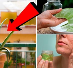 Its Incredibly Easy To Grow Healing Aloe Vera At Home Heres How...