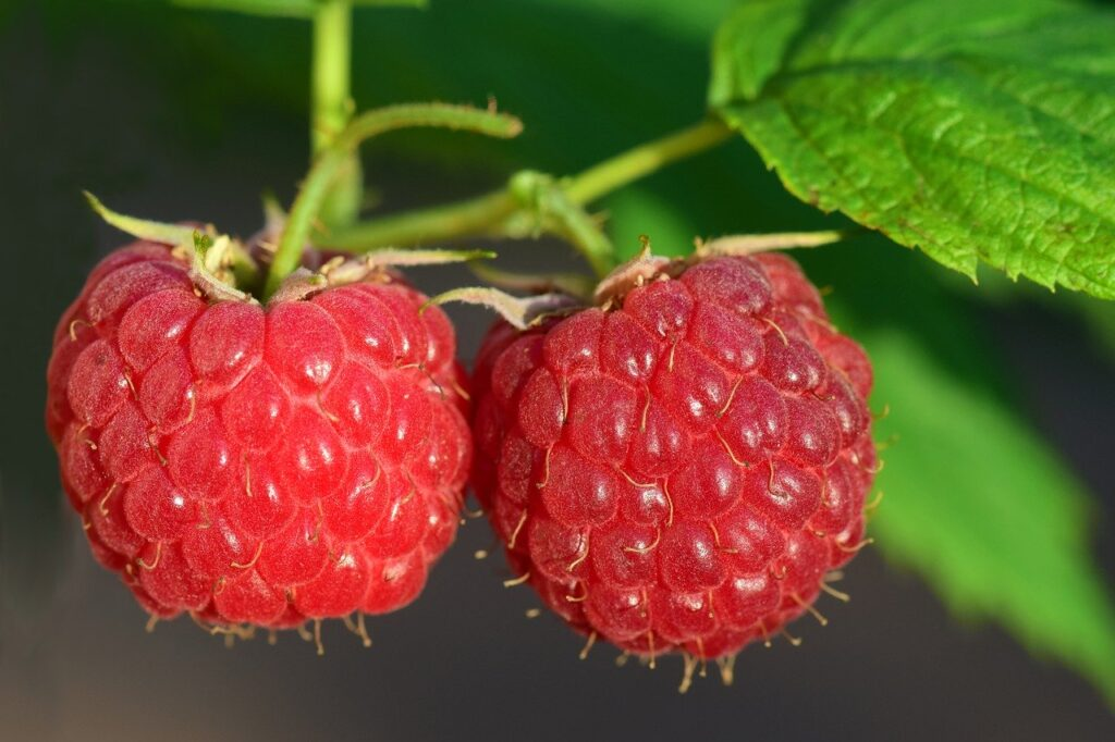 enjoy picking some fresh raspberries from the plant farms in the summer